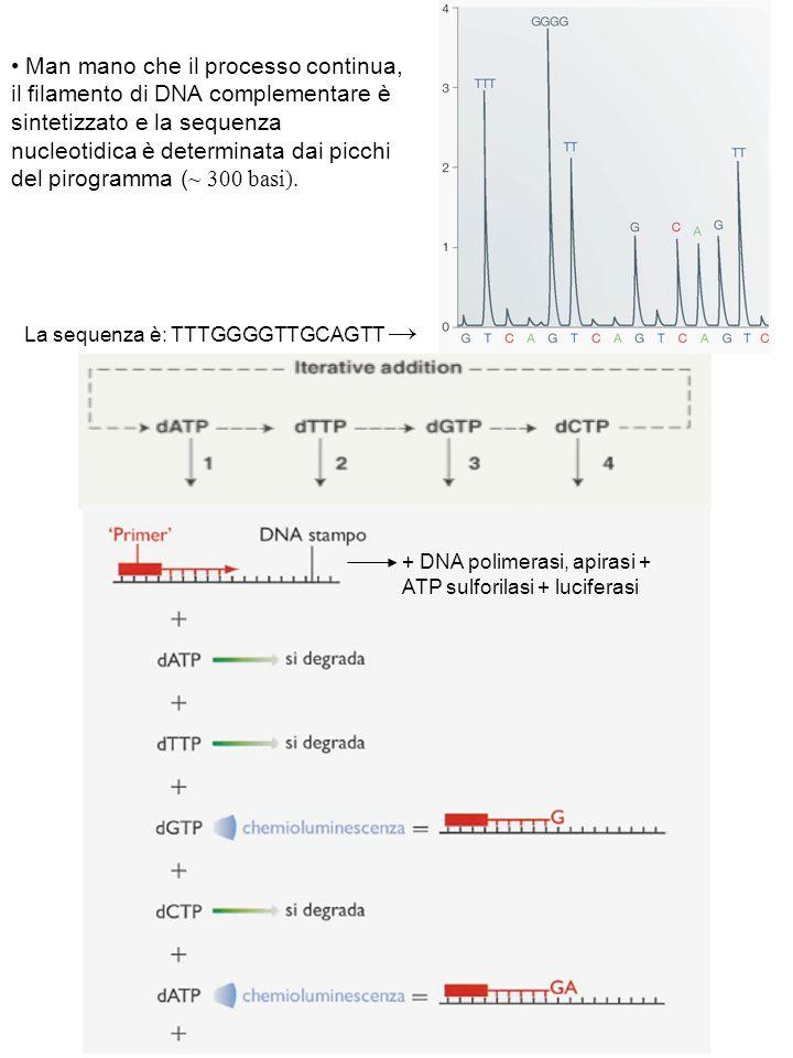 + DNA polimerasi, apirasi + ATP sulforilasi + luciferasi Man mano che il processo continua, il filamento di DNA complementare è sintetizzato e la sequ