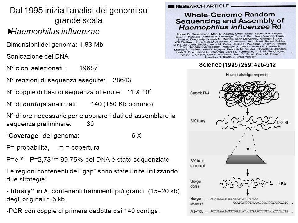Haemophilus influenzae Dimensioni del genoma: 1,83 Mb Sonicazione del DNA N° cloni selezionati : 19687 N° reazioni di sequenza eseguite: 28643 N° coppie di basi di sequenza ottenute: 11 X 10 6 N° di contigs analizzati: 140 (150 Kb ognuno) N° di ore necessarie per elaborare i dati ed assemblare la sequenza preliminare: 30 Coverage del genoma: 6 X P= probabilità, m = copertura P=e -m P=2,73 -6 = 99,75% del DNA è stato sequenziato Le regioni contenenti dei gap sono state unite utilizzando due strategie: -library in λ, contenenti frammenti più grandi (15–20 kb) degli originali 5 kb.