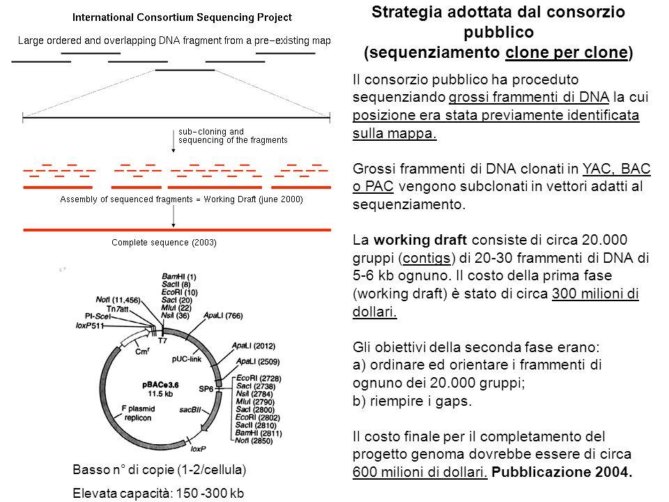 Strategia adottata dal consorzio pubblico (sequenziamento clone per clone) Il consorzio pubblico ha proceduto sequenziando grossi frammenti di DNA la cui posizione era stata previamente identificata sulla mappa.
