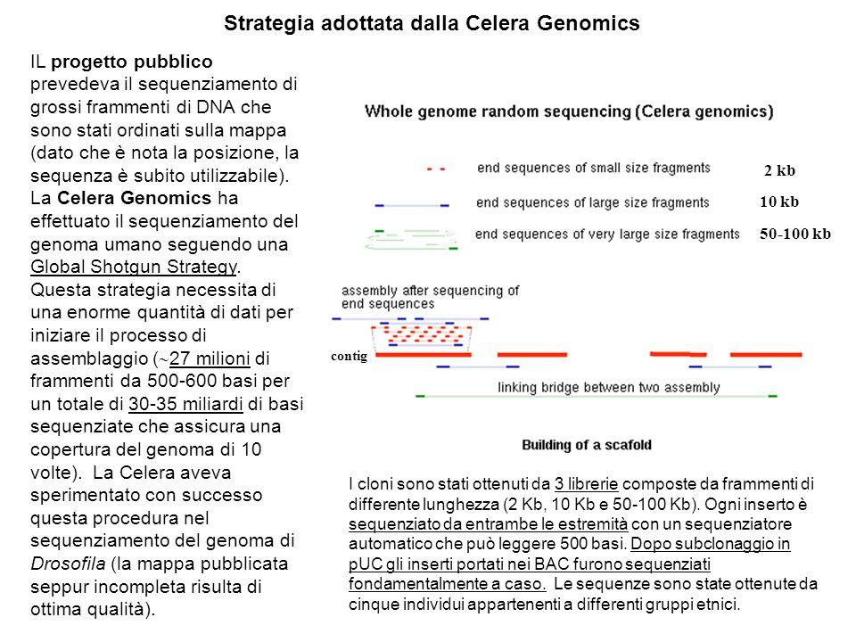 Strategia adottata dalla Celera Genomics IL progetto pubblico prevedeva il sequenziamento di grossi frammenti di DNA che sono stati ordinati sulla mappa (dato che è nota la posizione, la sequenza è subito utilizzabile).