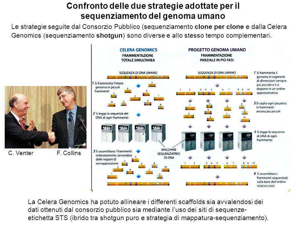 Confronto delle due strategie adottate per il sequenziamento del genoma umano Le strategie seguite dal Consorzio Pubblico (sequenziamento clone per clone e dalla Celera Genomics (sequenziamento shotgun) sono diverse e allo stesso tempo complementari.