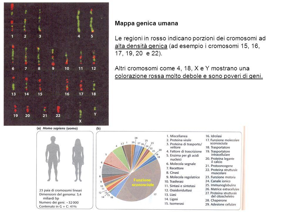 Funzione sconosciute Mappa genica umana Le regioni in rosso indicano porzioni dei cromosomi ad alta densità genica (ad esempio i cromosomi 15, 16, 17, 19, 20 e 22).