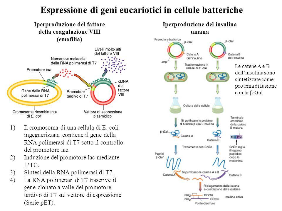 Espressione di geni eucariotici in cellule batteriche Iperproduzione del fattore della coagulazione VIII (emofilia) 1)Il cromosoma di una cellula di E.