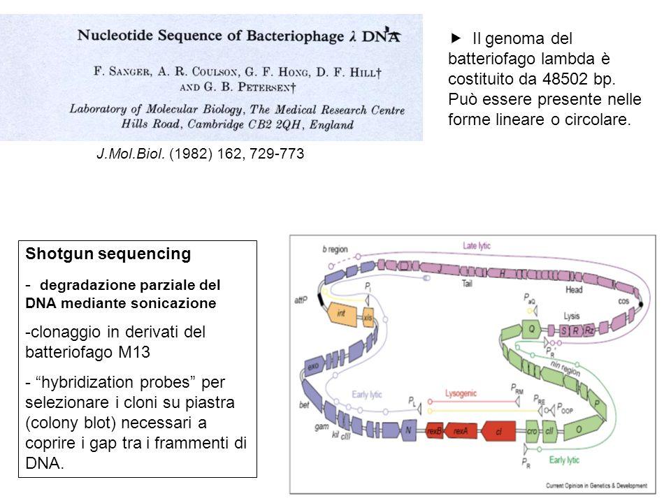 Il genoma del batteriofago lambda è costituito da 48502 bp.