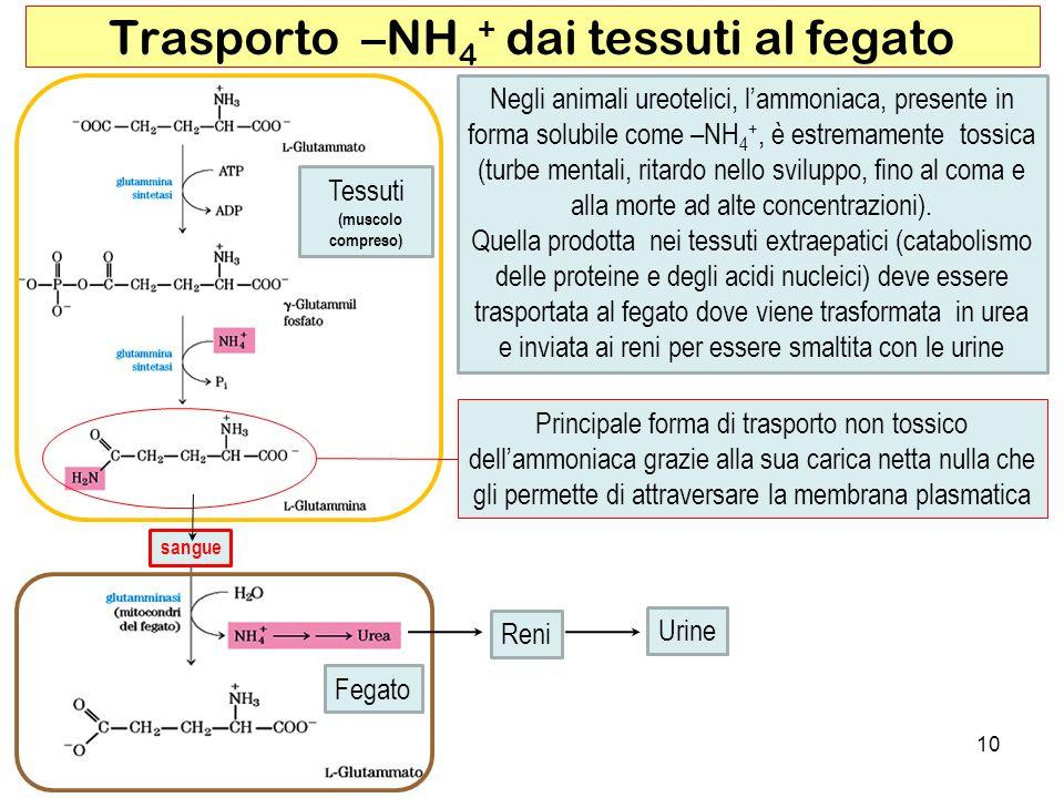 Principale forma di trasporto non tossico dellammoniaca grazie alla sua carica netta nulla che gli permette di attraversare la membrana plasmatica Tes