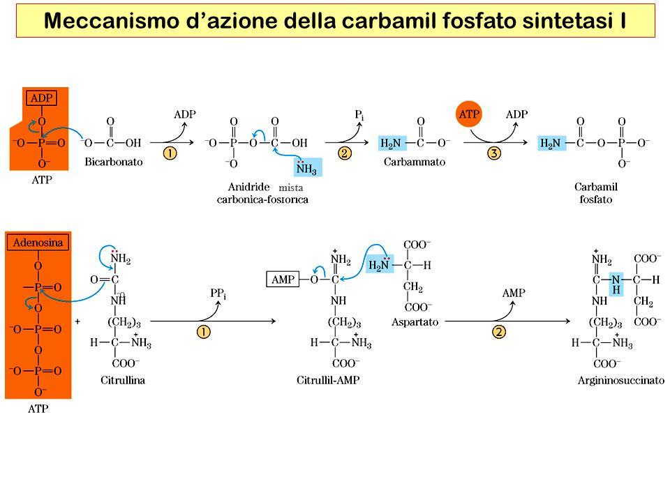 Meccanismo dazione della carbamil fosfato sintetasi I mista