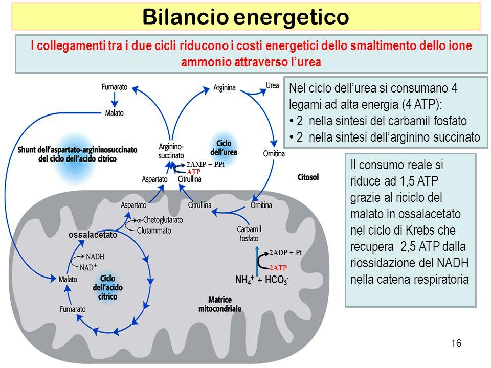 16 Bilancio energetico I collegamenti tra i due cicli riducono i costi energetici dello smaltimento dello ione ammonio attraverso lurea ossalacetato 2