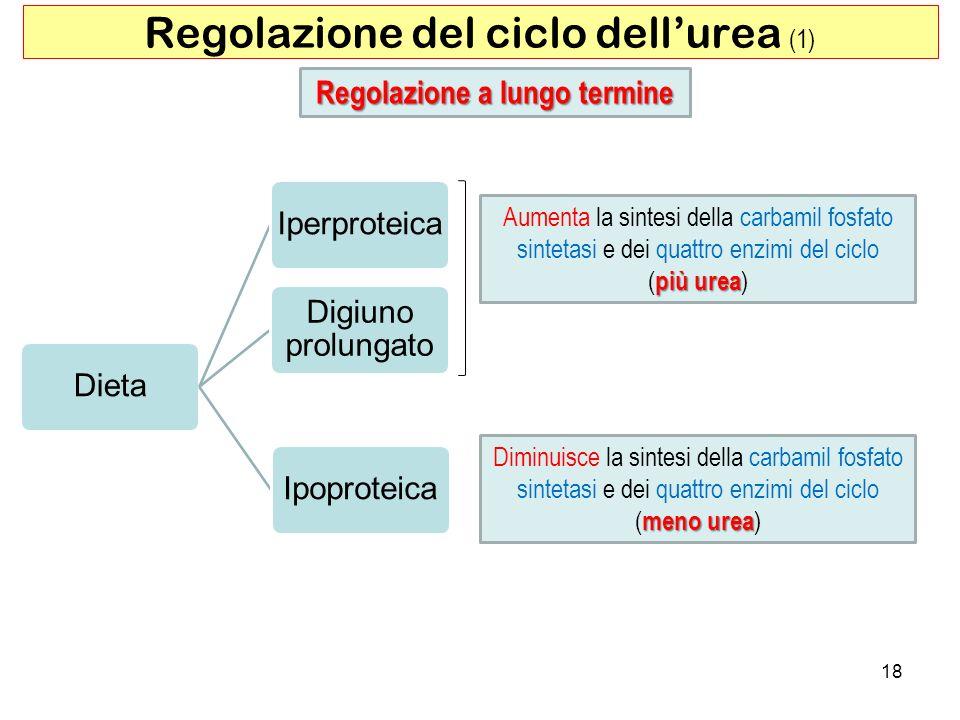 18 Regolazione del ciclo dellurea (1) Regolazione a lungo termine Dieta Iperproteica Digiuno prolungato Ipoproteica Aumenta la sintesi della carbamil