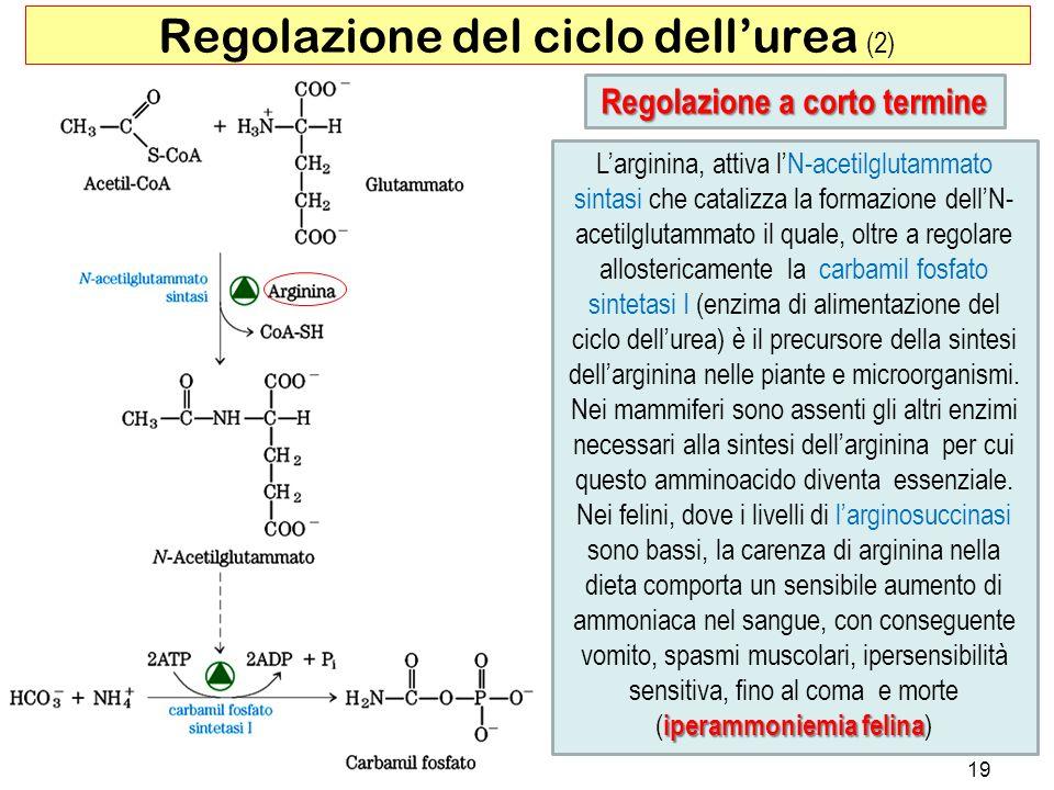 Larginina, attiva lN-acetilglutammato sintasi che catalizza la formazione dellN- acetilglutammato il quale, oltre a regolare allostericamente la carba