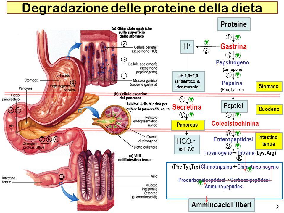 2 Degradazione delle proteine della dieta (Phe Tyr,Trp) Chimotripsina Chimotripsinogeno Procarbossipeptidasi Carbossipeptidasi Amminopeptidasi Protein