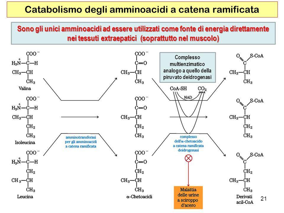 21 Catabolismo degli amminoacidi a catena ramificata Sono gli unici amminoacidi ad essere utilizzati come fonte di energia direttamente nei tessuti ex