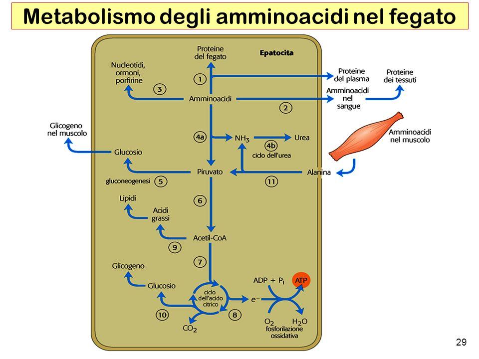 29 Metabolismo degli amminoacidi nel fegato