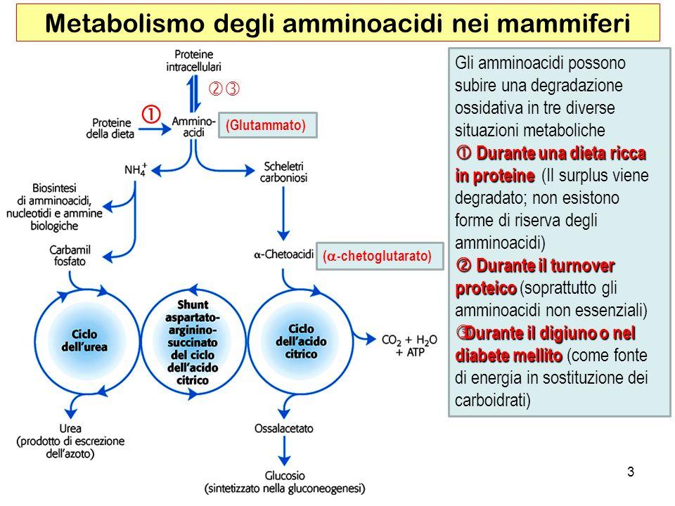 3 Metabolismo degli amminoacidi nei mammiferi Gli amminoacidi possono subire una degradazione ossidativa in tre diverse situazioni metaboliche Durante