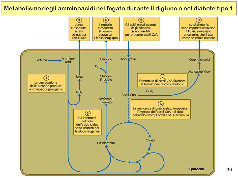 30 Metabolismo degli amminoacidi nel fegato durante il digiuno o nel diabete tipo 1