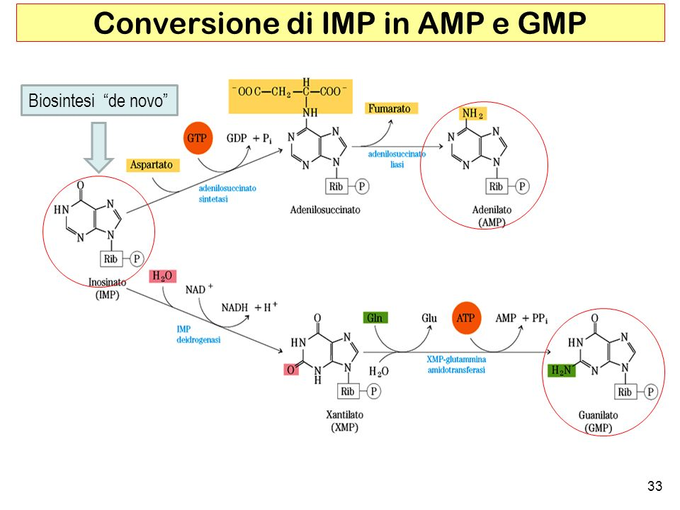 33 Conversione di IMP in AMP e GMP Biosintesi de novo