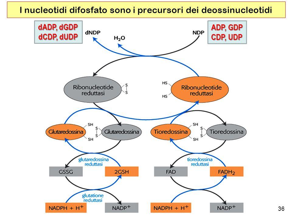 36 I nucleotidi difosfato sono i precursori dei deossinucleotidi ADP, GDP CDP, UDP dADP, dGDP dCDP, dUDP