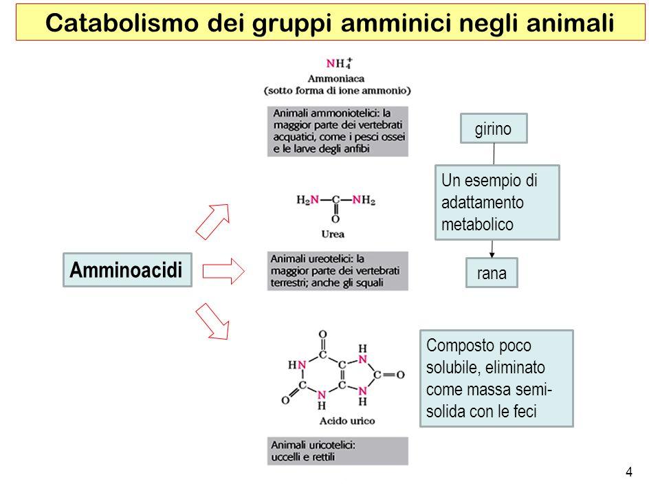 4 Catabolismo dei gruppi amminici negli animali girino rana Composto poco solubile, eliminato come massa semi- solida con le feci Un esempio di adatta
