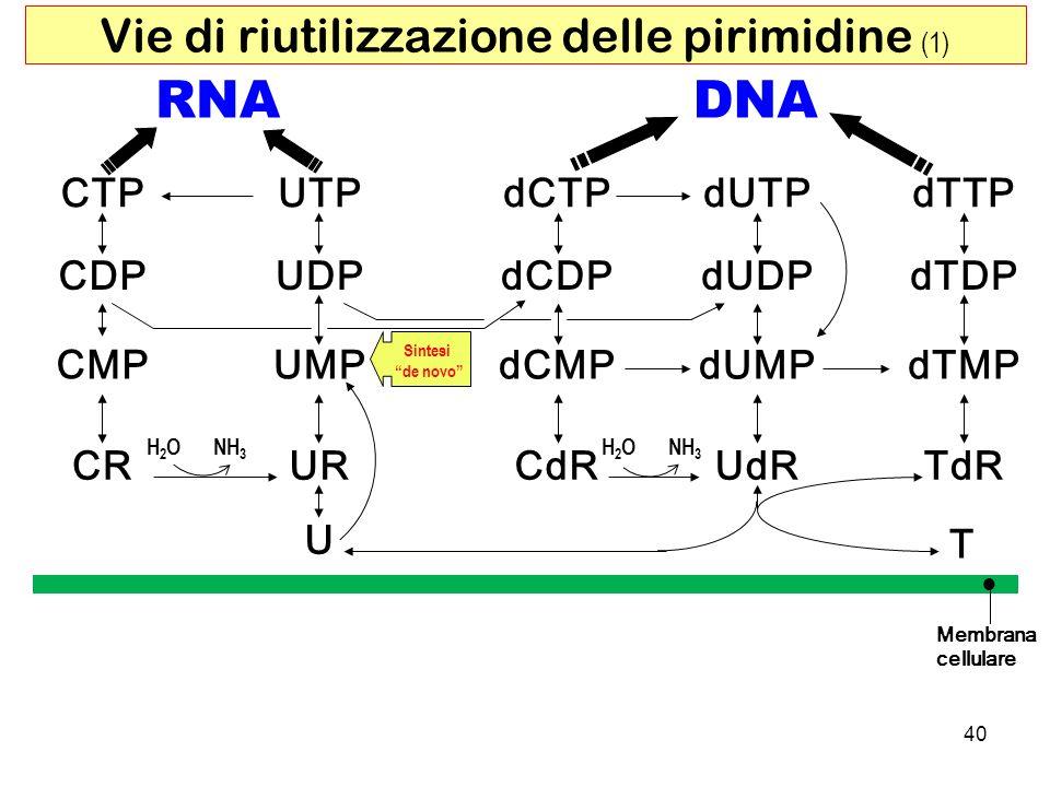 RNADNA CTP dUDP dCTP CMPUMP UDP UTP dCMP dCDP dUTP dUMPdTMP dTDP dTTP CDP CRURCdRUdRTdR U T Membrana cellulare H2OH2ONH 3 H2OH2O Vie di riutilizzazion