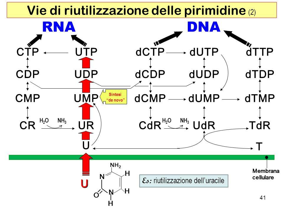 RNADNA CTP dUDP dCTP CMPUMP UDP UTP dCMP dCDP dUTP dUMPdTMP dTDP dTTP CDP CRURCdRUdRTdR U T Membrana cellulare H2OH2ONH 3 H2OH2O U H O NH 2 N H N H Es