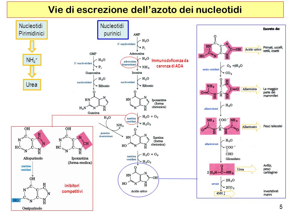 5 Vie di escrezione dellazoto dei nucleotidi Nucleotidi purinici inibitori competitivi Nucleotidi Pirimidinici NH 4 + Urea Immunodeficenza da carenza