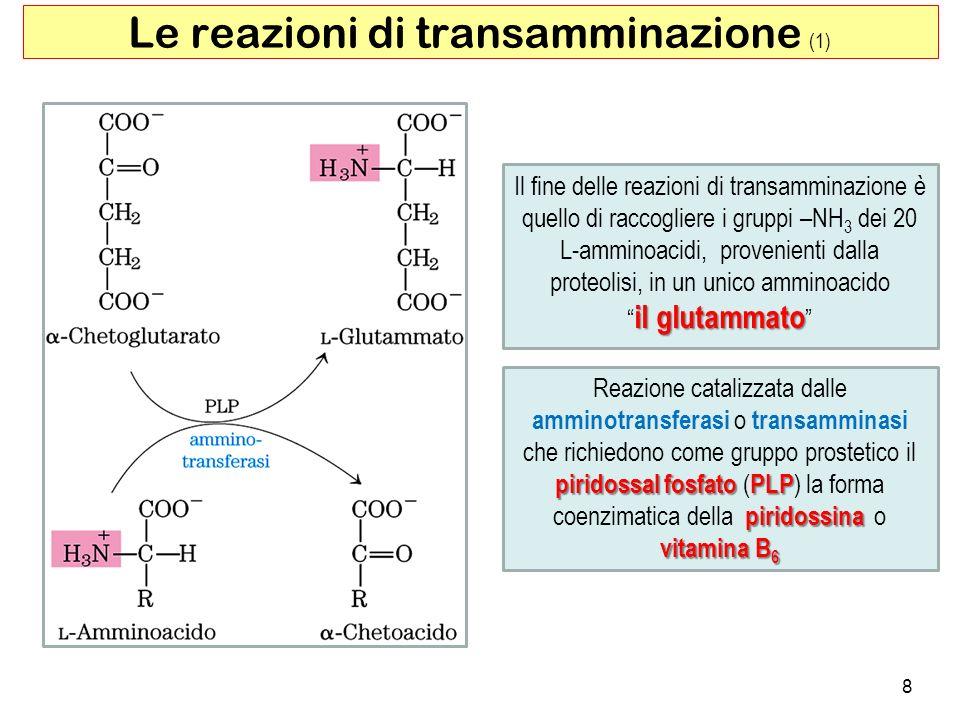 8 Le reazioni di transamminazione (1) Il fine delle reazioni di transamminazione è quello di raccogliere i gruppi –NH 3 dei 20 L-amminoacidi, provenie