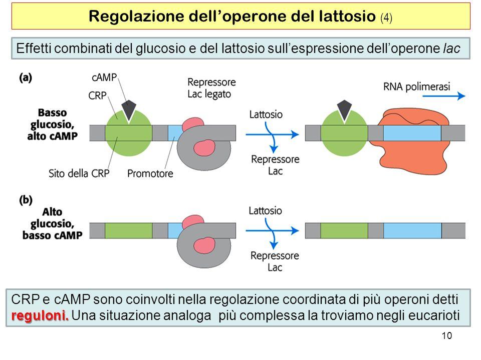 10 Regolazione delloperone del lattosio (4) Effetti combinati del glucosio e del lattosio sullespressione delloperone lac CRP e cAMP sono coinvolti ne