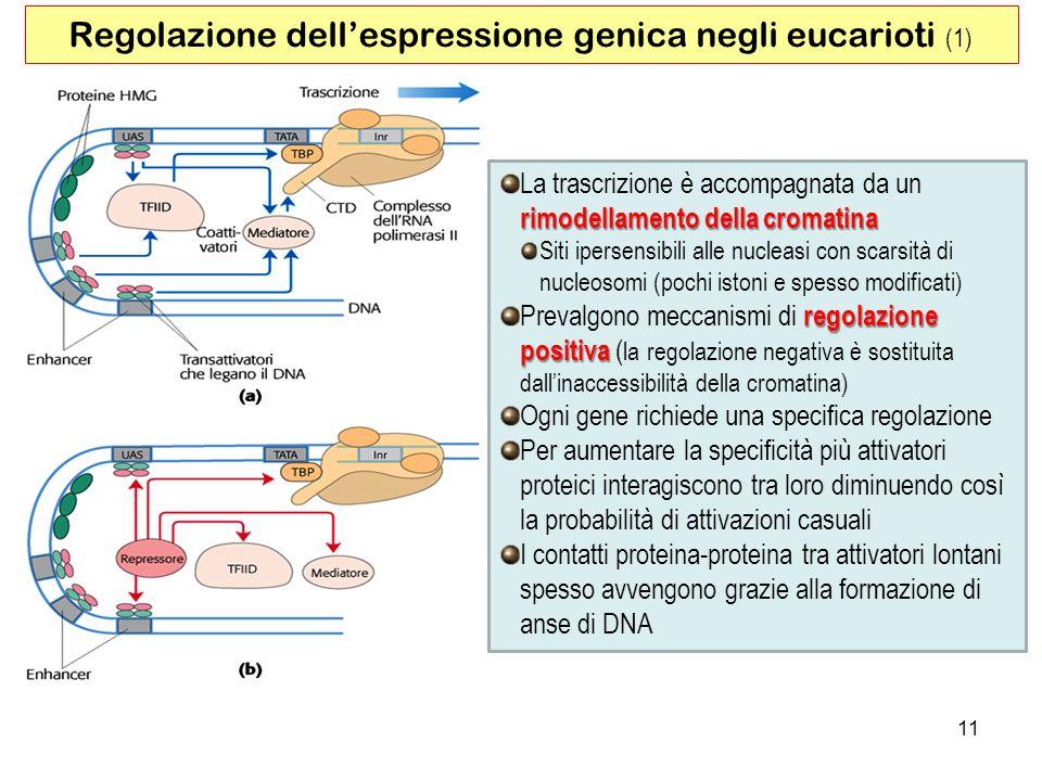 11 Regolazione dellespressione genica negli eucarioti (1) rimodellamento della cromatina La trascrizione è accompagnata da un rimodellamento della cro