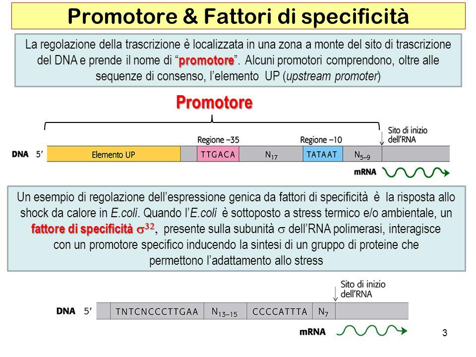 3 Promotore & Fattori di specificità promotore La regolazione della trascrizione è localizzata in una zona a monte del sito di trascrizione del DNA e