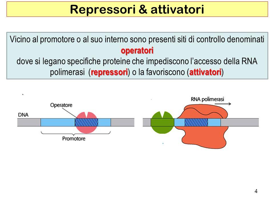 4 Repressori & attivatori operatori Vicino al promotore o al suo interno sono presenti siti di controllo denominati operatori repressoriattivatori dov