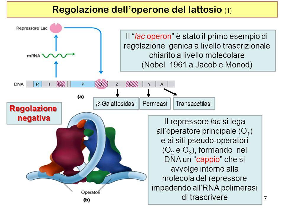 7 Regolazione delloperone del lattosio (1) -Galattosidasi PermeasiTransacetilasi Il lac operon è stato il primo esempio di regolazione genica a livell