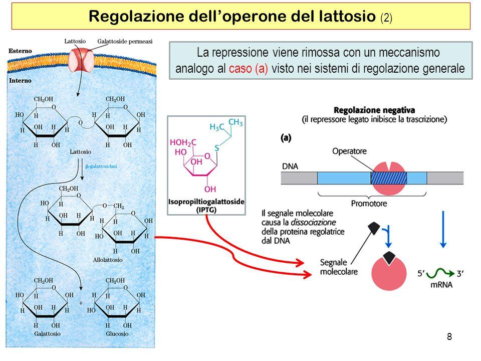 8 Regolazione delloperone del lattosio (2) La repressione viene rimossa con un meccanismo analogo al caso (a) visto nei sistemi di regolazione general
