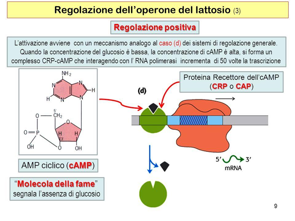 9 Regolazione delloperone del lattosio (3) Lattivazione avviene con un meccanismo analogo al caso (d) dei sistemi di regolazione generale. Quando la c