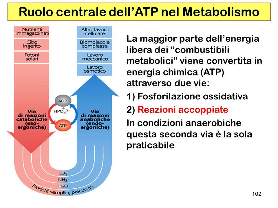 102 Ruolo centrale dellATP nel Metabolismo La maggior parte dellenergia libera dei combustibili metabolici viene convertita in energia chimica (ATP) attraverso due vie: 1) Fosforilazione ossidativa 2) Reazioni accoppiate In condizioni anaerobiche questa seconda via è la sola praticabile