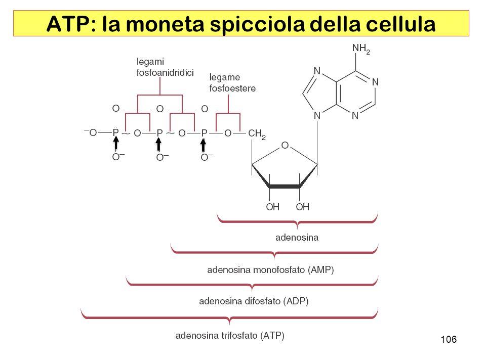106 ATP: la moneta spicciola della cellula