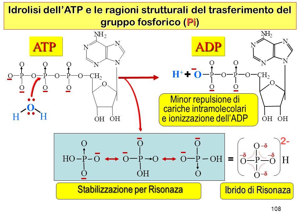 108 ADP Idrolisi dellATP e le ragioni strutturali del trasferimento del gruppo fosforico (Pi) N N N N N H 2 O OH OH CH 2 OP O O O P O O O H Minor repulsione di cariche intramolecolari e ionizzazione dellADP ATP N N N N N 2 O OH OH CH 2 OP O O O P O O O P O O O O H H H+H+ Stabilizzazione per Risonaza + = Ibrido di Risonaza 2- O O O O P H OP O HO O OP O O OH P O O O
