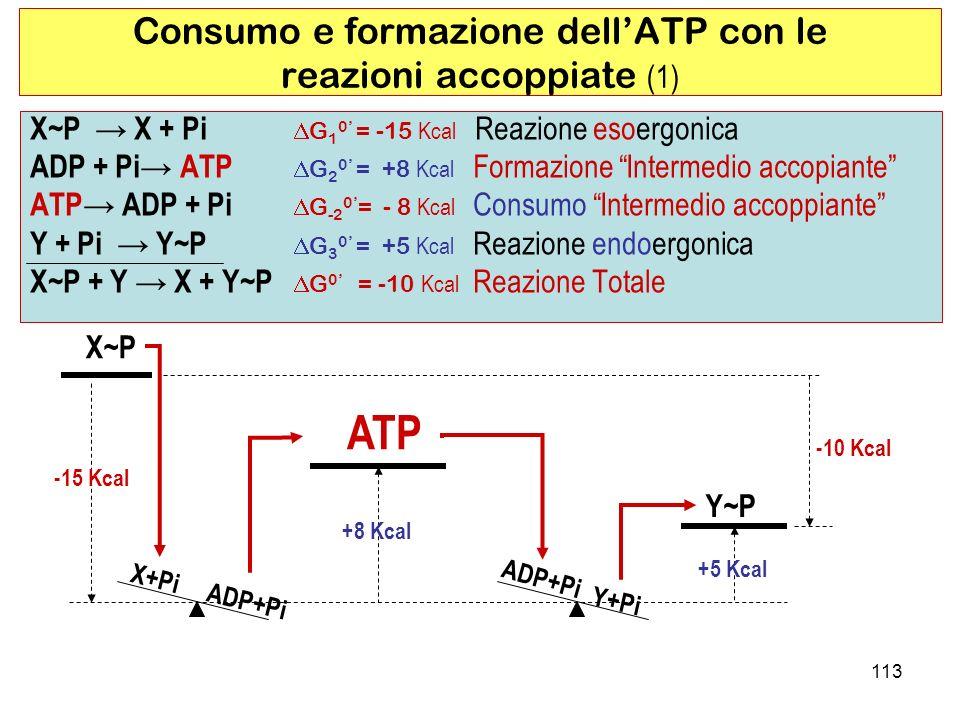 ADP+Pi 113 X~P X + Pi G 1 0 = -15 Kcal Reazione esoergonica ADP + Pi ATP G 2 0 = +8 Kcal Formazione Intermedio accopiante ATP ADP + Pi G -2 0 = - 8 Kcal Consumo Intermedio accoppiante Y + Pi Y~P G 3 0 = +5 Kcal Reazione endoergonica X~P + Y X + Y~P G 0 = -10 Kcal Reazione Totale Consumo e formazione dellATP con le reazioni accoppiate (1) X~P X+Pi ADP+Pi ATP Y+Pi Y~P -15 Kcal +8 Kcal +5 Kcal -10 Kcal