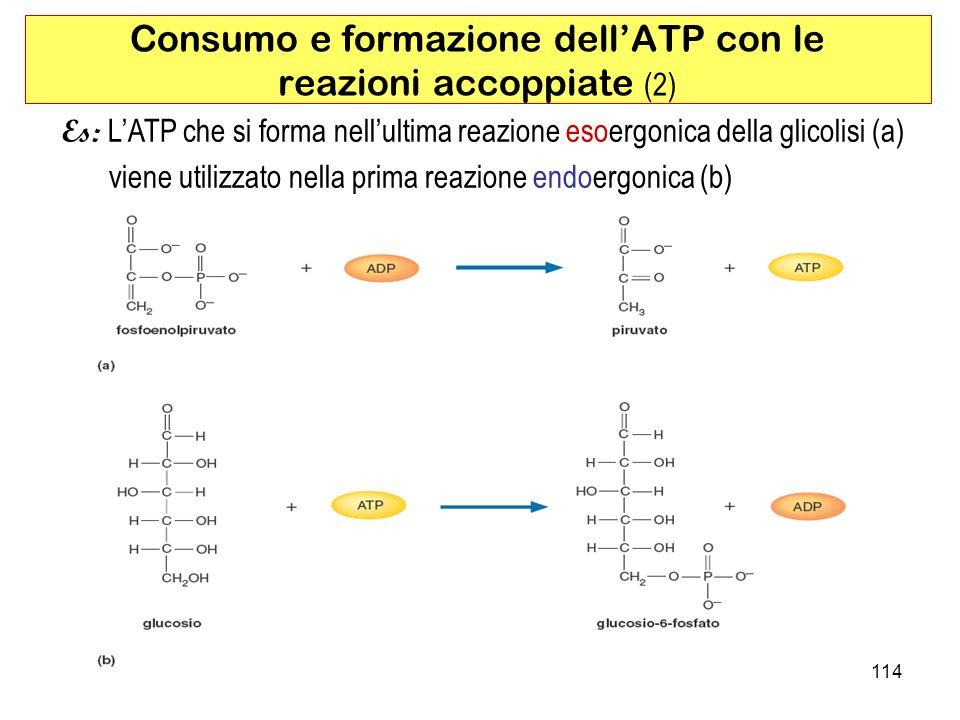 114 Es: LATP che si forma nellultima reazione esoergonica della glicolisi (a) viene utilizzato nella prima reazione endoergonica (b) Consumo e formazione dellATP con le reazioni accoppiate (2)