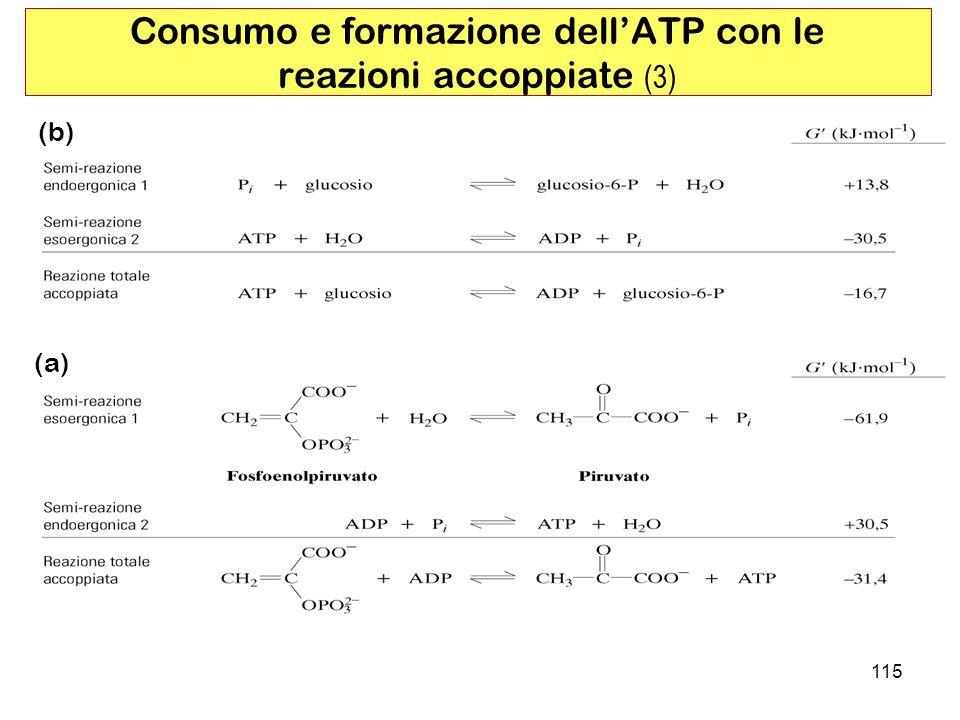 115 (b) (a) Consumo e formazione dellATP con le reazioni accoppiate (3)