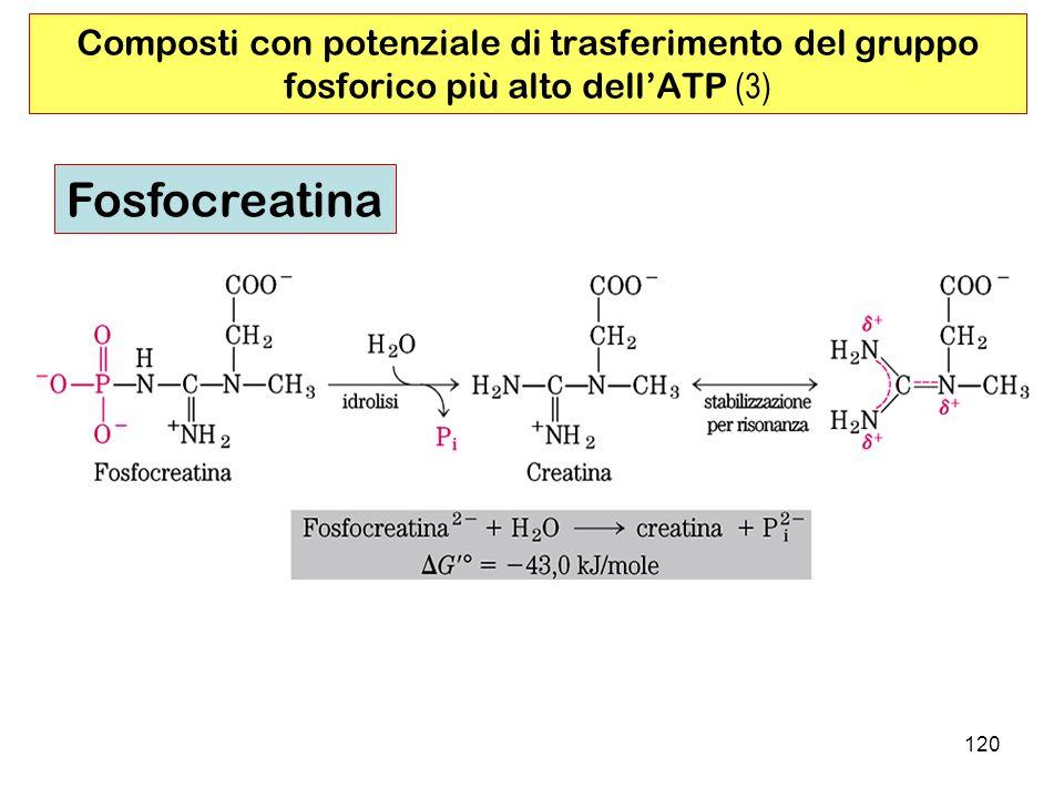 120 Composti con potenziale di trasferimento del gruppo fosforico più alto dellATP (3) Fosfocreatina