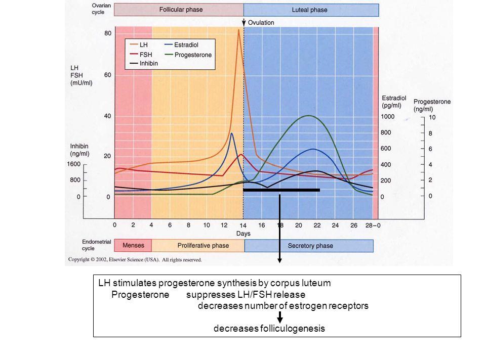 LH stimulates progesterone synthesis by corpus luteum Progesterone suppresses LH/FSH release decreases number of estrogen receptors decreases follicul