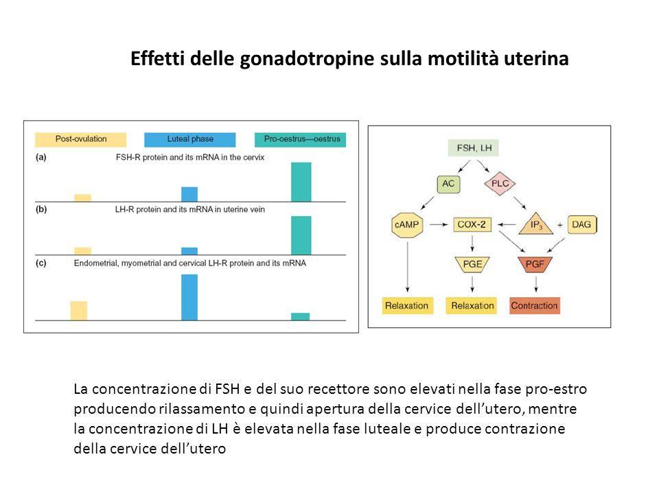 Effetti delle gonadotropine sulla motilità uterina La concentrazione di FSH e del suo recettore sono elevati nella fase pro-estro producendo rilassame