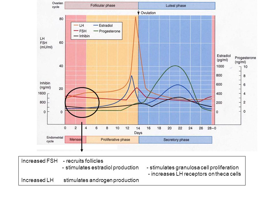 Secondary/tertiary follicles secrete estradiol GnRH pulse frequency increases upregulation of GnRH receptors increased synthesis of LH/FSH