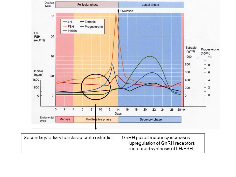 Dominant (Graafian) follicle presides produces progesterone and increased estradiol production increase in number of progesterone receptors further increases in LH/FSH synthesis increased GnRH pulse amplitude and frequency LH surge is triggered ovulation
