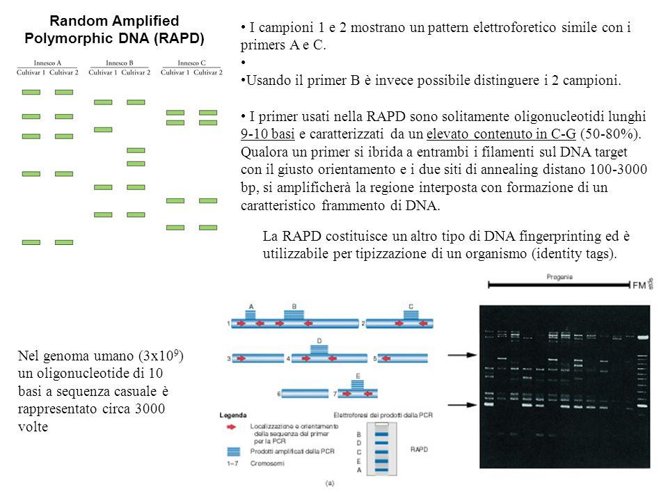 Random Amplified Polymorphic DNA (RAPD) Nel genoma umano (3x10 9 ) un oligonucleotide di 10 basi a sequenza casuale è rappresentato circa 3000 volte I