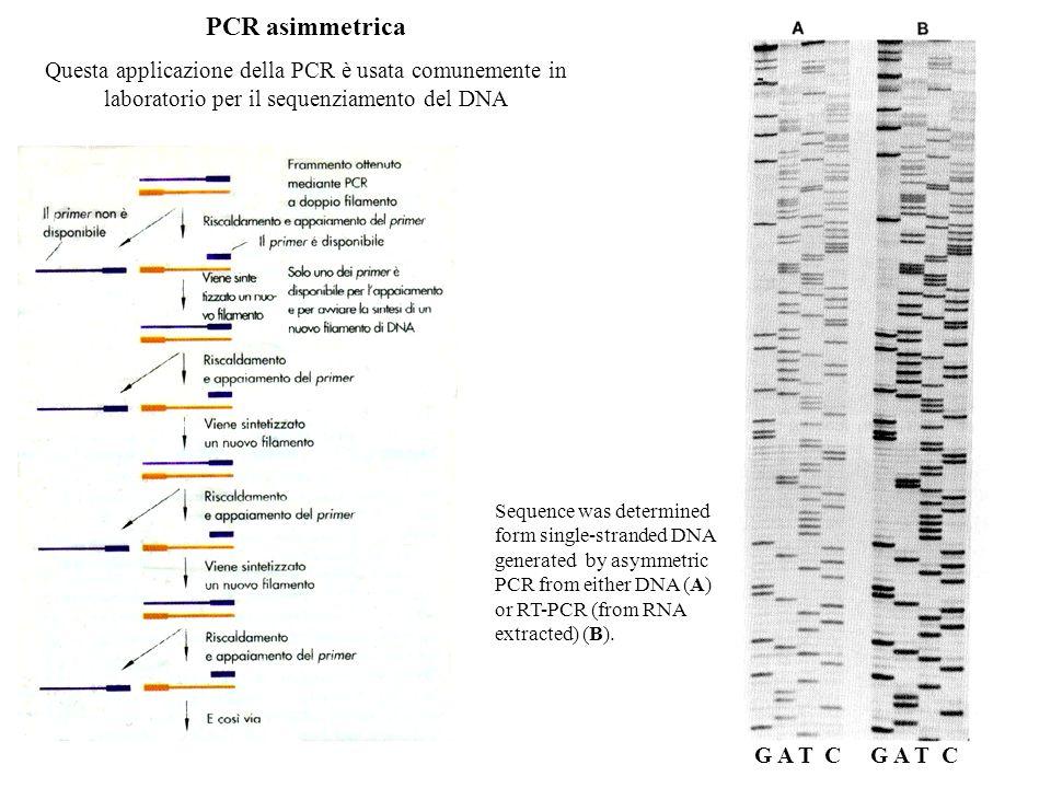 PCR asimmetrica Questa applicazione della PCR è usata comunemente in laboratorio per il sequenziamento del DNA Sequence was determined form single-str