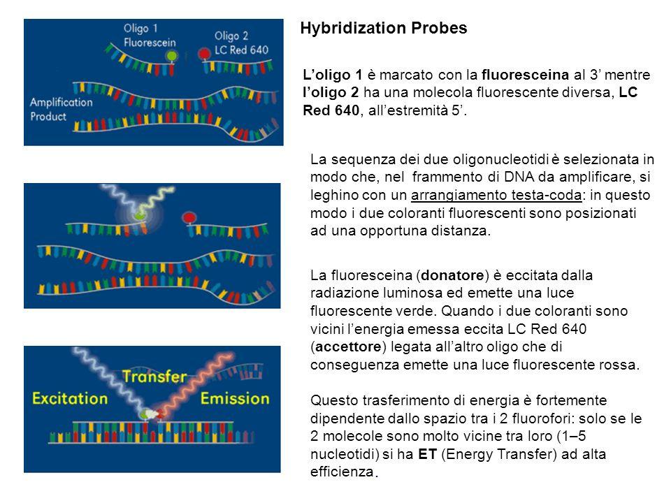 Loligo 1 è marcato con la fluoresceina al 3 mentre loligo 2 ha una molecola fluorescente diversa, LC Red 640, allestremità 5. La sequenza dei due olig