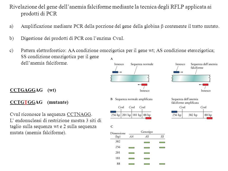 Rivelazione del gene dellanemia falciforme mediante la tecnica degli RFLP applicata ai prodotti di PCR a)Amplificazione mediante PCR della porzione de