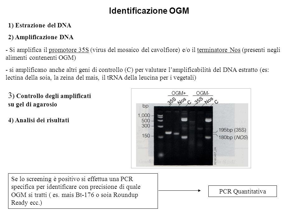 1) Estrazione del DNA 2) Amplificazione DNA - Si amplifica il promotore 35S (virus del mosaico del cavolfiore) e/o il terminatore Nos (presenti negli