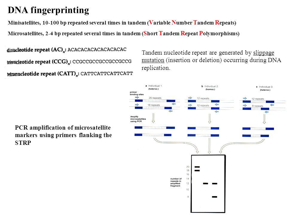 DNA fingerprinting Minisatellites, 10-100 bp repeated several times in tandem ( V ariable N umber T andem R epeats) Microsatellites, 2-4 bp repeated s