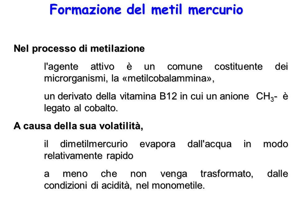 Formazione del metil mercurio Nel processo di metilazione l'agente attivo è un comune costituente dei microrganismi, la «metilcobalammina», un derivat